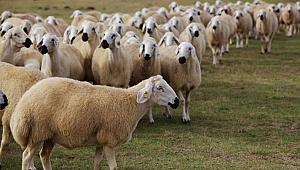 Köyümde Yaşamak İçin Bir Sürü Nedenim Var Projesine Yeni Koyun Ve Keçi Irkları Eklendi